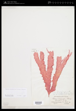 Itonoa marginifera image