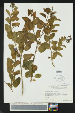 Image of Solanum wallacei