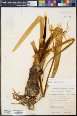 Image of Hymenocallis galvestonensis