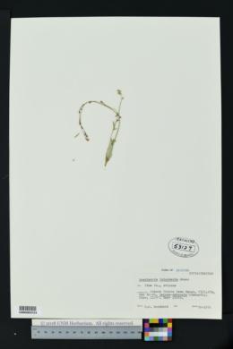Boerhavia intermedia image