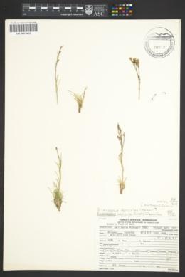 Image of Eremogone ferrisiae