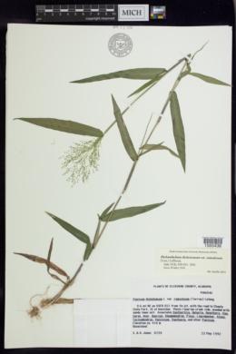 Dichanthelium dichotomum image