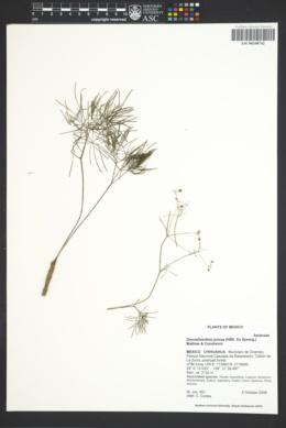 Image of Donnellsmithia juncea