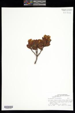 Rhododendron ferrugineum image
