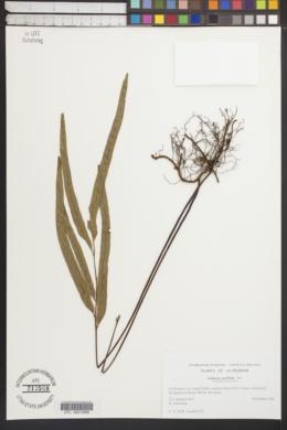 Image of Lindsaea ensifolia