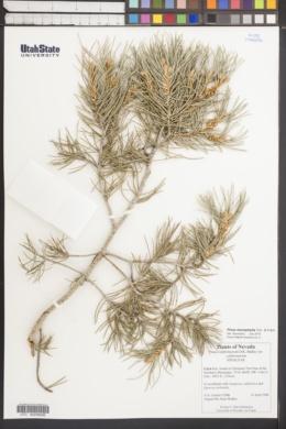 Pinus monophylla image