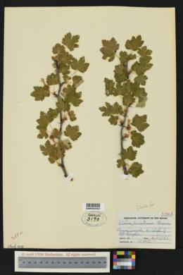 Ribes pinetorum image