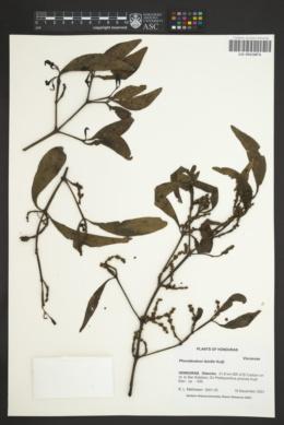Image of Phoradendron falcifer