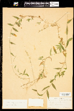 Oplismenus hirtellus image