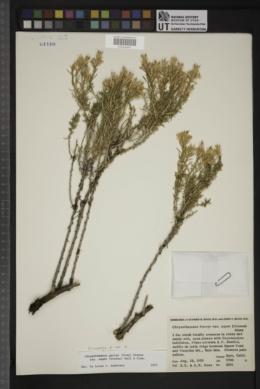 Ericameria parryi var. aspera image