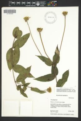 Image of Fleischmannia porphyranthema