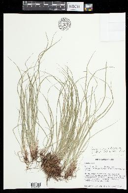 Image of Carex austrodeflexa