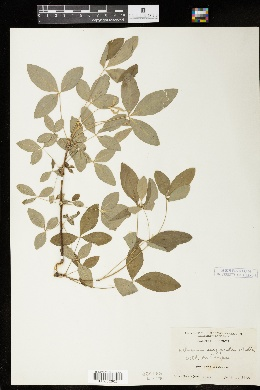 Laburnum anagyroides image