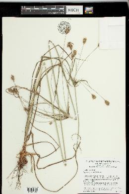 Image of Cyperus plukenetii