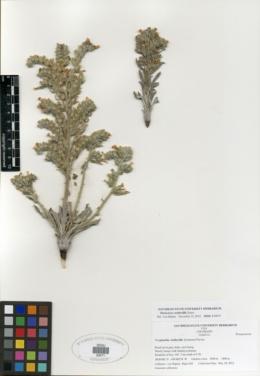 Oreocarya wetherillii image