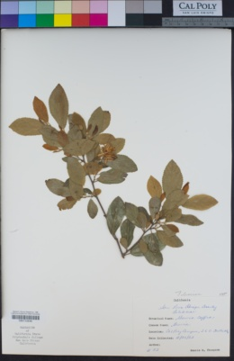 Image of Grewia caffra