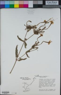 Mirabilis longiflora image