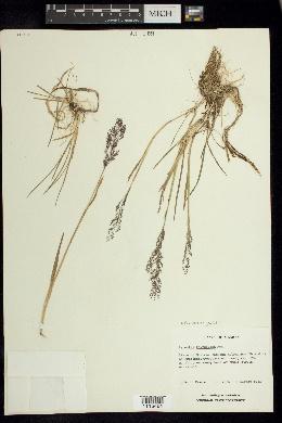 Agrostis bourgeaei image