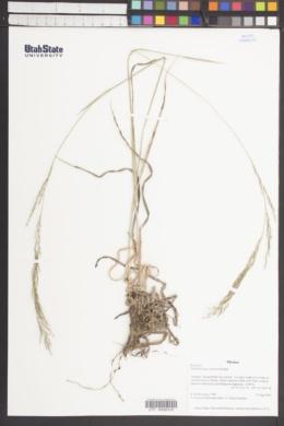 Image of Muhlenbergia curvula