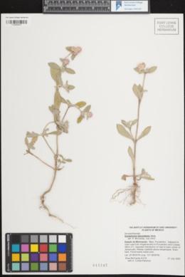 Image of Gomphrena decumbens