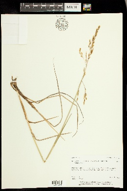 Image of Dupontia fisheri