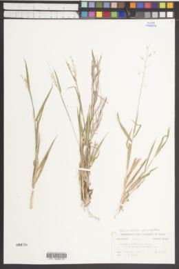 Image of Panicum pedicellatum