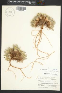 Astragalus triphyllus image