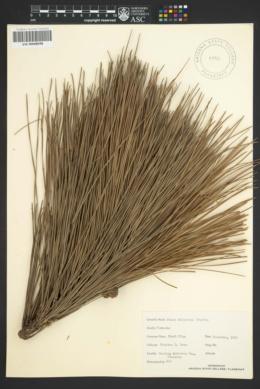 Image of Pinus elliottii