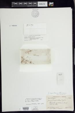 Juncus capillaris image