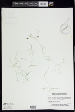 Potamogeton vaseyi image