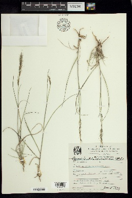 Image of Aristida scribneriana
