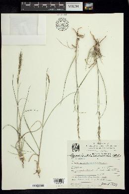 Image of Aristida scribneriana