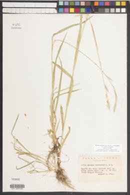Bromus carinatus image