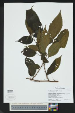 Image of Boehmeria ulmifolia