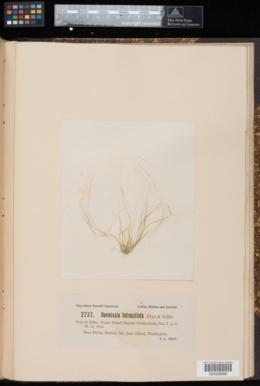 Urospora tetraciliata image