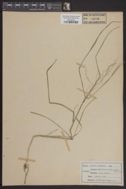 Image of Panicum bicknellii