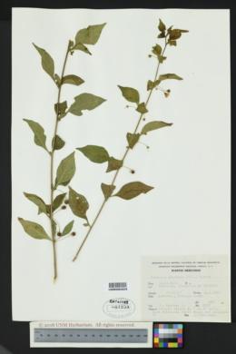 Capsicum rhomboideum image