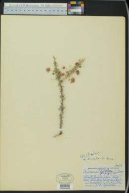 Mimosa borealis image
