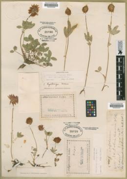 Trifolium kingii image