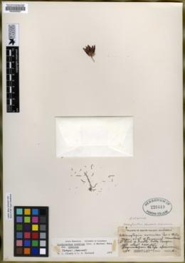 Image of Adenostegia eremica