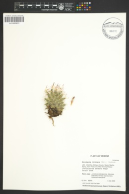 Coryphantha vivipara var. vivipara image