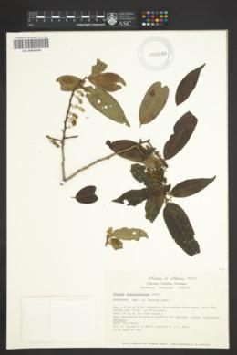 Image of Prunus brachybotrya