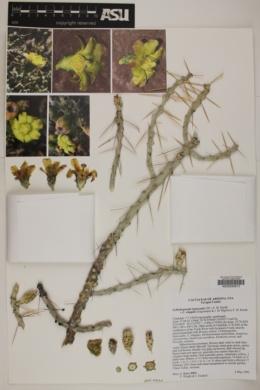 Image of Cylindropuntia leptocaulis x whipplei