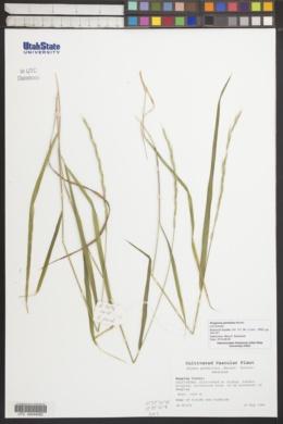 Image of Roegneria pendulina