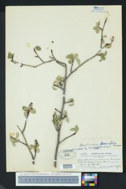 Image of Amelanchier prunifolia