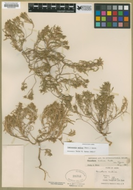 Neoholmgrenia andina image