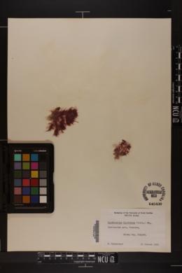 Rhodothamniella floridula image
