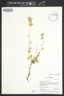 Sphaeralcea parvifolia image