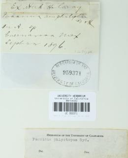 Image of Puccinia amphilophii