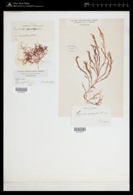 Hypnea ramentacea image